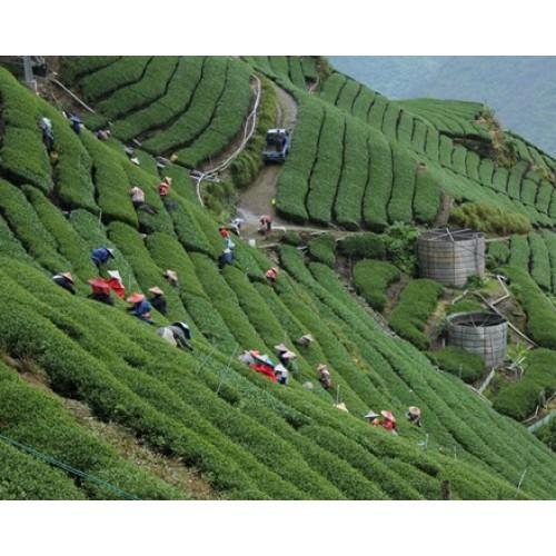 梨山-翠峰高冷茶